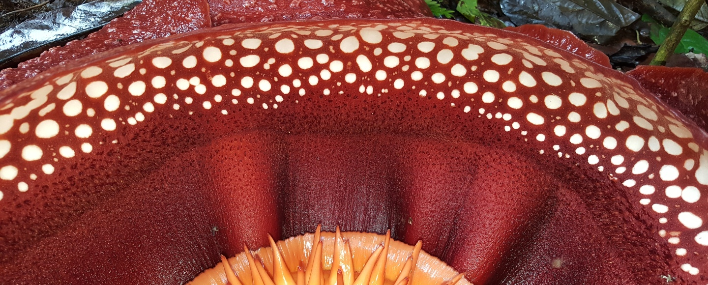 The inside of Rafflesia