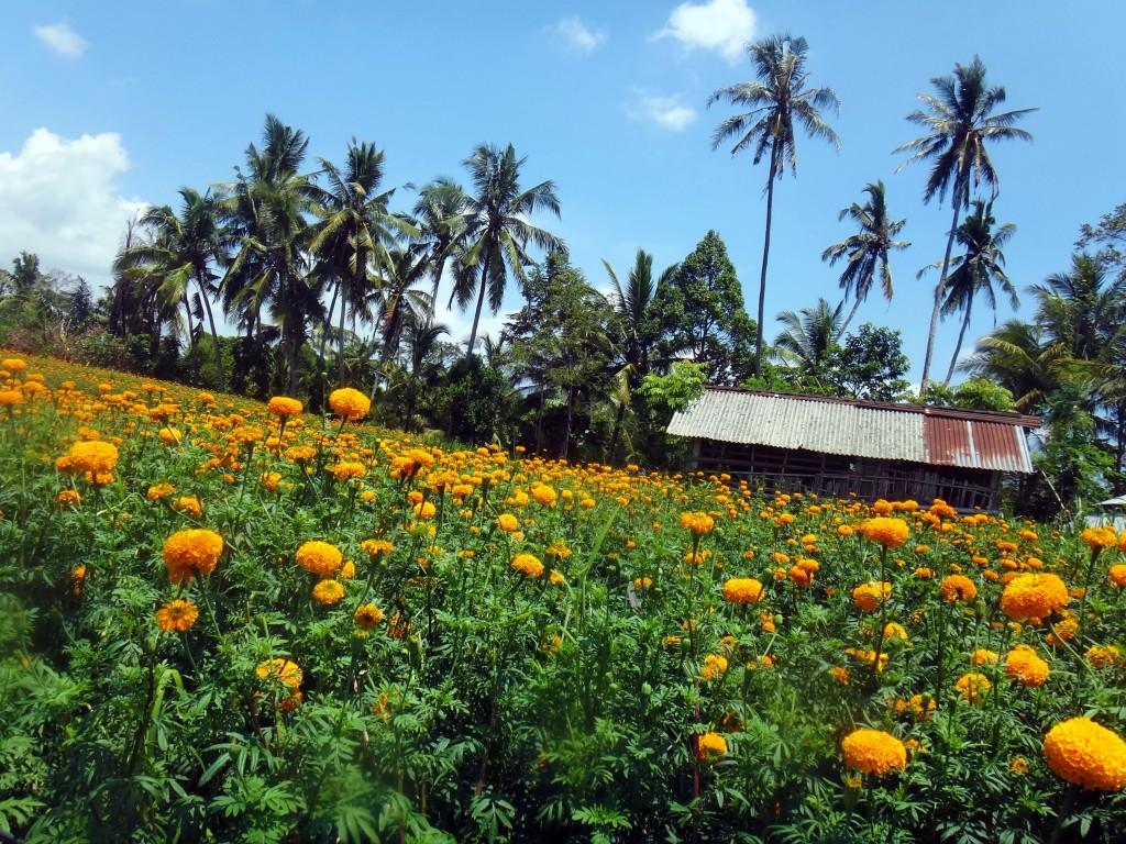 Marigold field in Bali